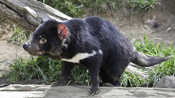 Tasmanian Devil Healthy Population