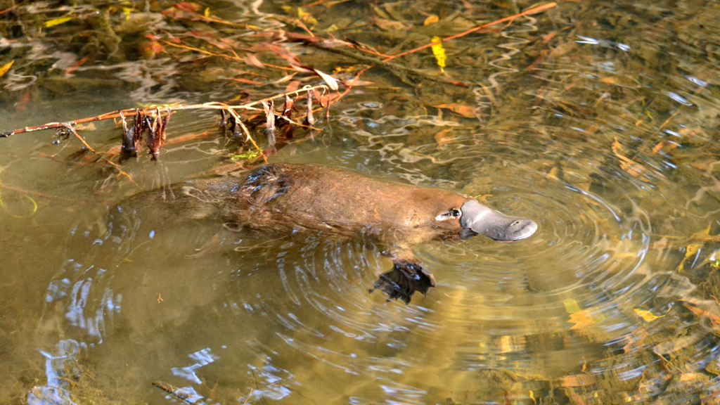Best Places To See Platypus Tasmania
